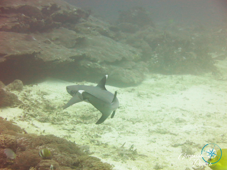 Shark swimming around the coral.